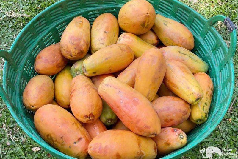 Basket of Fruit - Papaya for the elephants