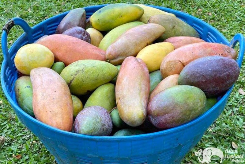 Basket of Fruit - Mangoes for the elephants