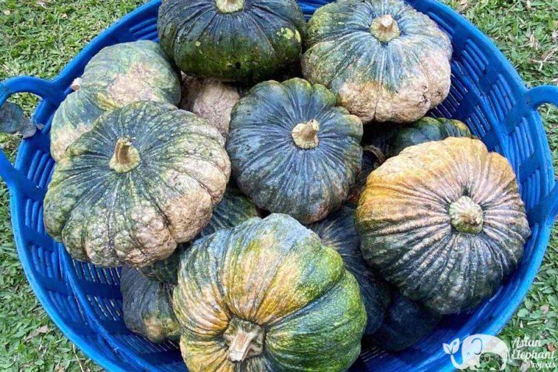 Basket of Vegetables - pumpkins for the elephants