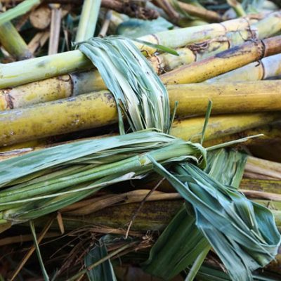 Elephant Food Sweet Package Bundle of Sugarcane