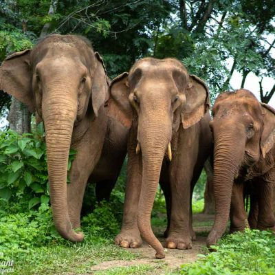 Care For Elephants Asian Elephant Projects