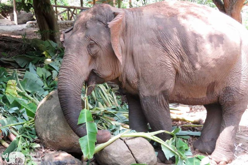 Elephant Eating Banana Trees