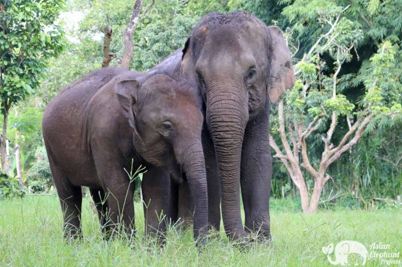Elephant Heaven Asian Elephant Projects