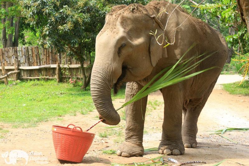 Elephant Food Sweet Package Eating Sugarcane