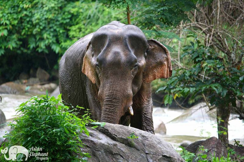 Elephant Pride Asian Elephant Projects