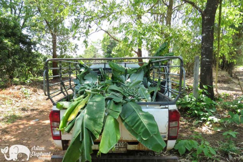 Elephant Food Support Package Banana Tree Stalks