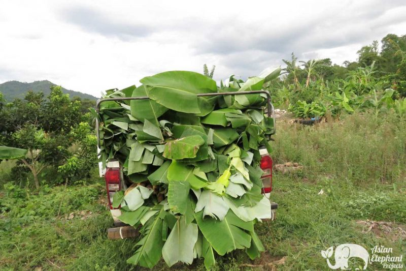 Elephant Food Support Package Banana Trees