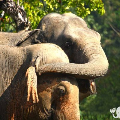 Elephant Wellnes Asian Elephant Projects