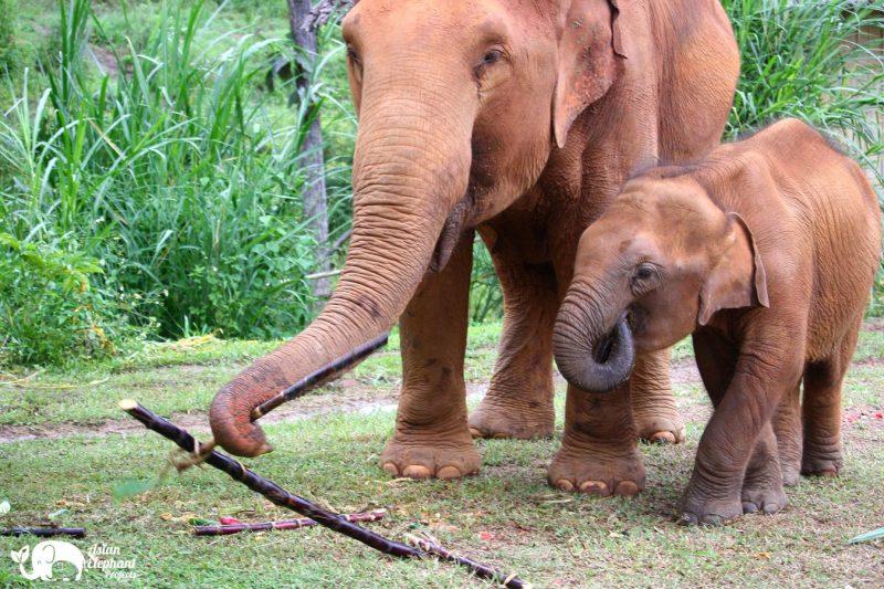 Elephants eating Sugarcane