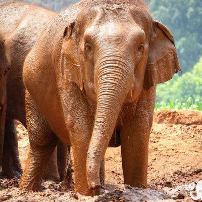Hope for Elephants Asian Elephant Projects