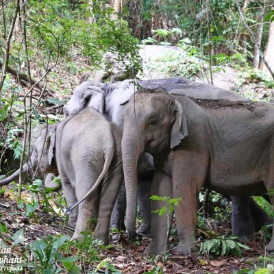 Journey to Freedom Asian Elephant Projects