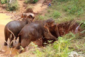 Elephants Chiang Mai Karen Elephant Experience
