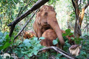 Karen Elephant Serenity Ethical Elephant Sanctuary
