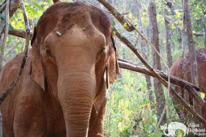 Karen Elephant Serenity Elephants Chiang Mai