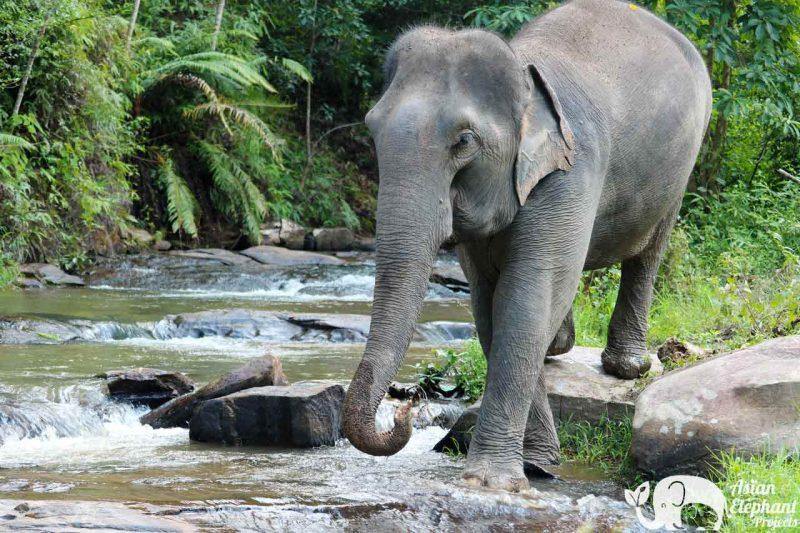 Karen Elephant Habitat Asian Elephant Projects