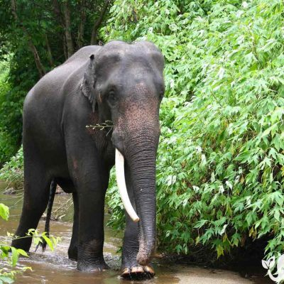 Karen Elephant Home Asian Elephant Projects