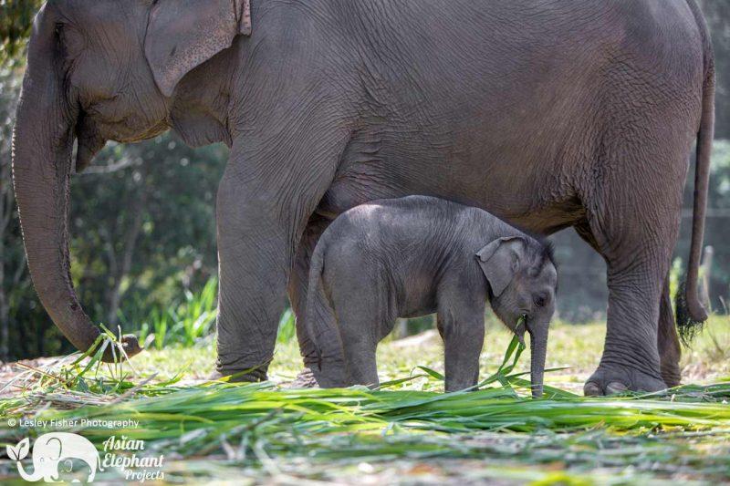 Karen Elephant Retirement Asian Elephant Projects