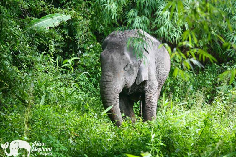 Pamper A Pachyderm Asian Elephant Projects