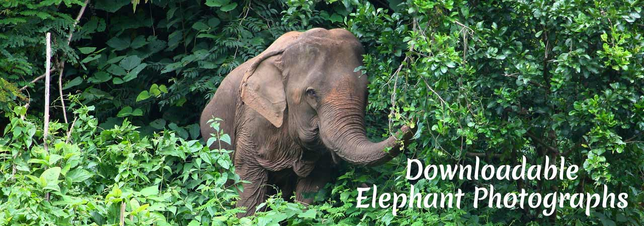 Asian_Elephant_Projects_Download_Photographs