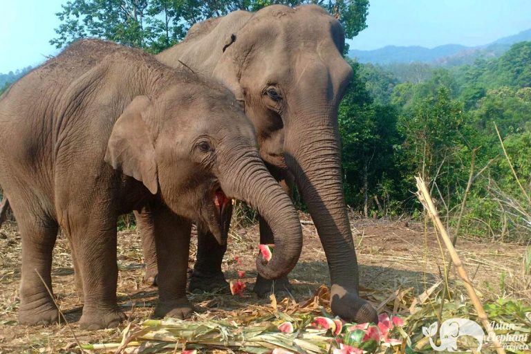 Asian_Elephant_Projects_Food1