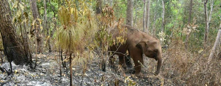 Thai elephants impacted by Covid-19