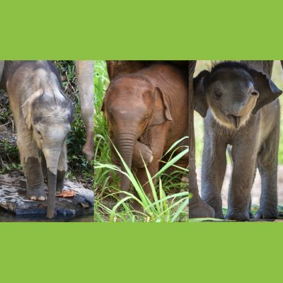 Sponsor An Elephant
