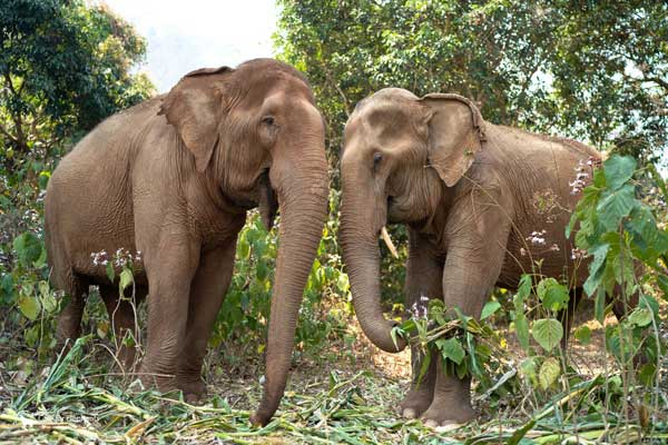 Asian Elephant Projects Food for Elephants