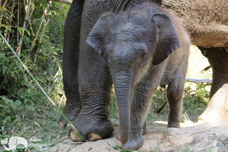 Sponsor an Elephant - Lanna Asian Elephant Projects