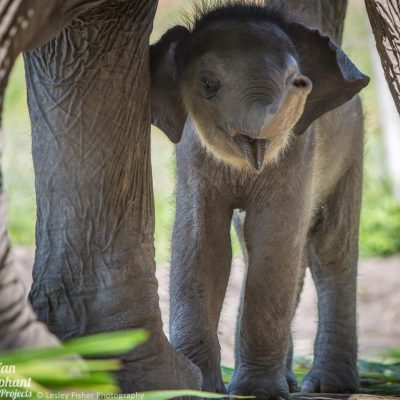 Sponsor an Elephant - Bella Asian Elephant Projects
