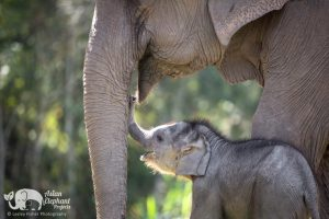 Sponsor an Elephant - Bella Asian Elephant Projects