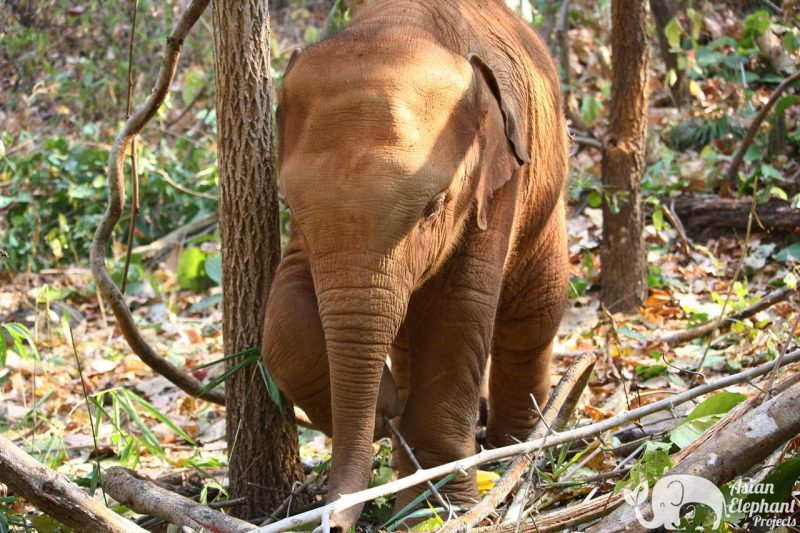 Sponsor an Elephant - Heng Heng Asian Elephant Projects