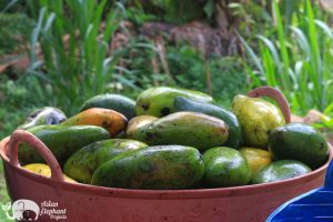 Mangoes for elelphants at Elephant Pride