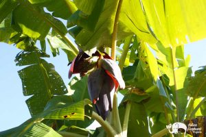 Karen Mountain Hideaway banana flower