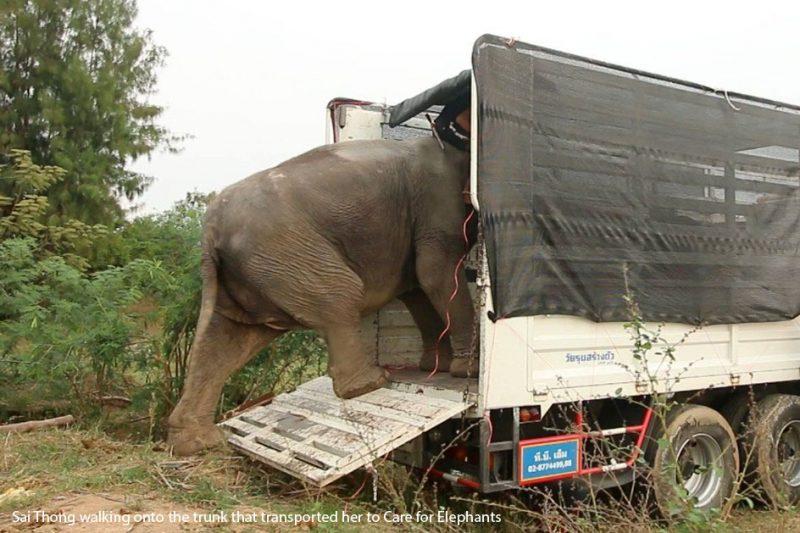 Care for Elephants Sai Thong Rescue