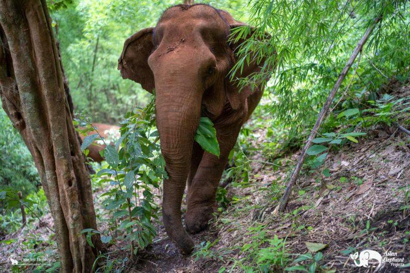 Care for Elephants Sponsor Sai Thong