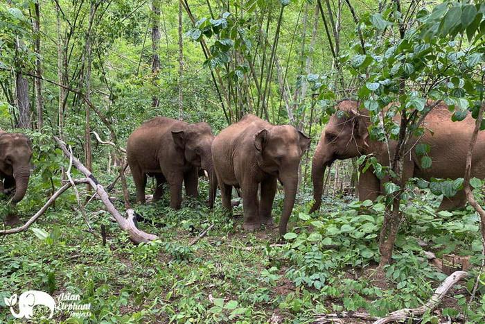 Elephant_Herd_Baan_Huay_Bong_11