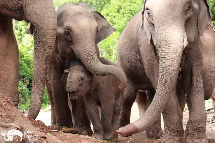 Elephant_Herd_Baan_Huay_Bong_5