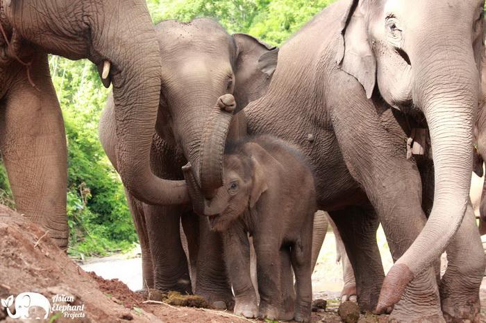 Elephant_Herd_Baan_Huay_Bong_6