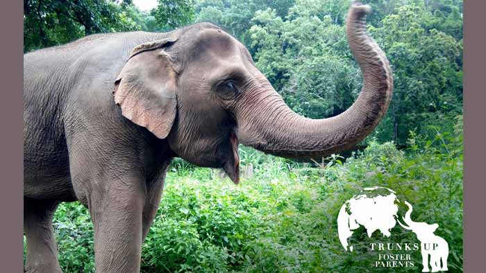 Elephant Pride Trunks Up Foster
