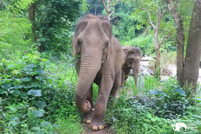 Elephant Pride Elephants