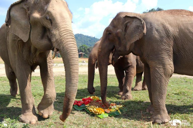 Elephants Eating Cakes at Care for Elephants