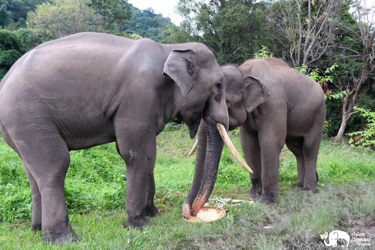 Bull Elephants enjoy a cake at Karen Elephant Home