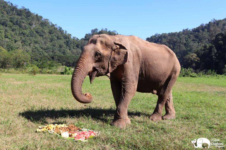 Senior Elephant Happy at Pamper A Pachyderm