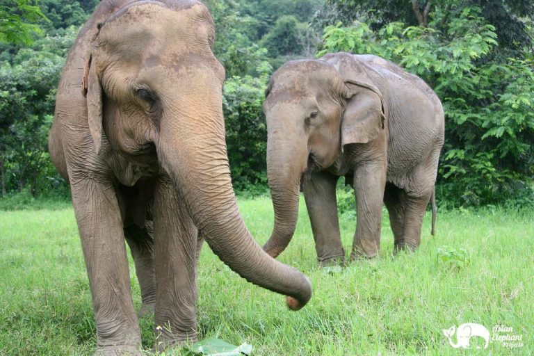 Senior Elephant Happy & Sa Ard at Pamper A Pachyderm