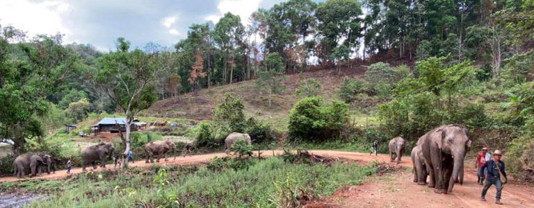 Elephants Thailand Covid Crisis