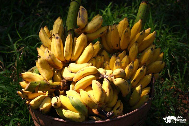 Bananas for Elephants Asian Elephant Projects
