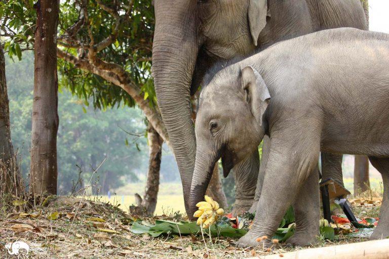 Elephants eating bananas Asian Elephant Projects