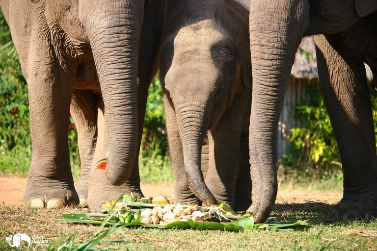 Elephants eating fruit and vegetablese