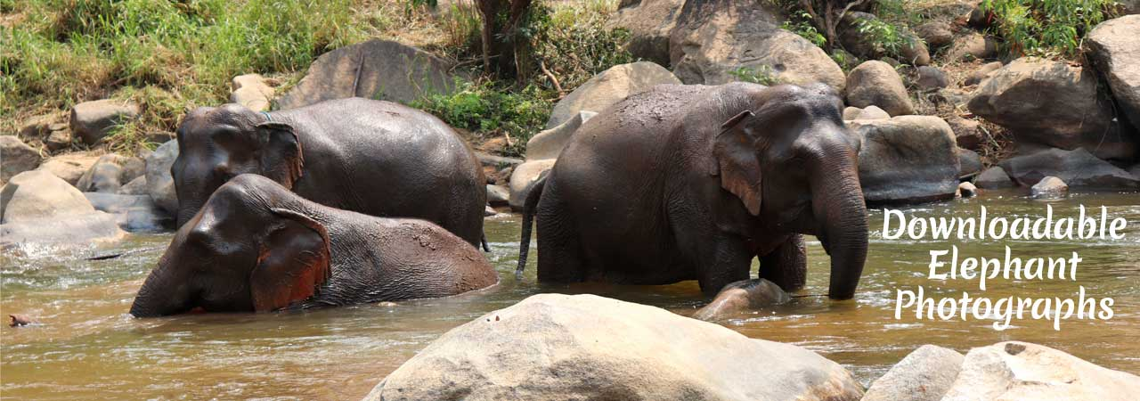 Asian_Elephant_Projects_Download_Ele_Photos