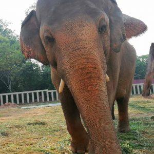 Bull Elephant Kaavan Cambodia Wildlife Sanctuary